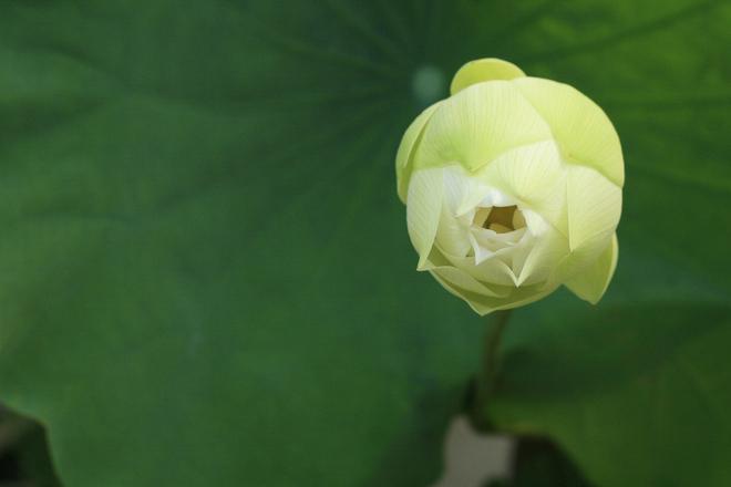 white-lotus-1368751